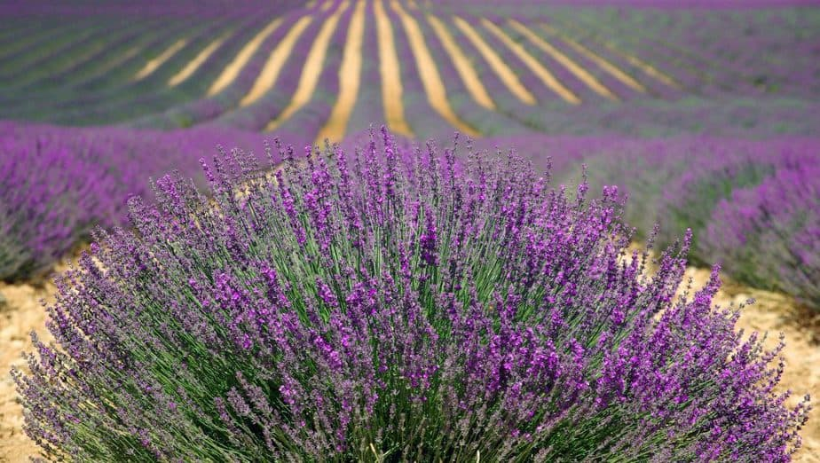 Repel Ticks 12 Lavender