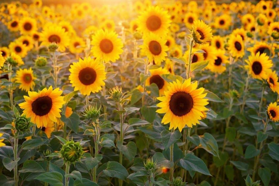 Repel Ticks 24 Sunflower