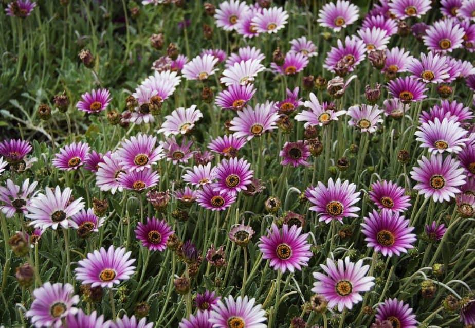 Repel Ticks 3 Fleabane Daisy