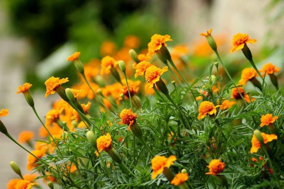 Repel Ticks 5 Marigold