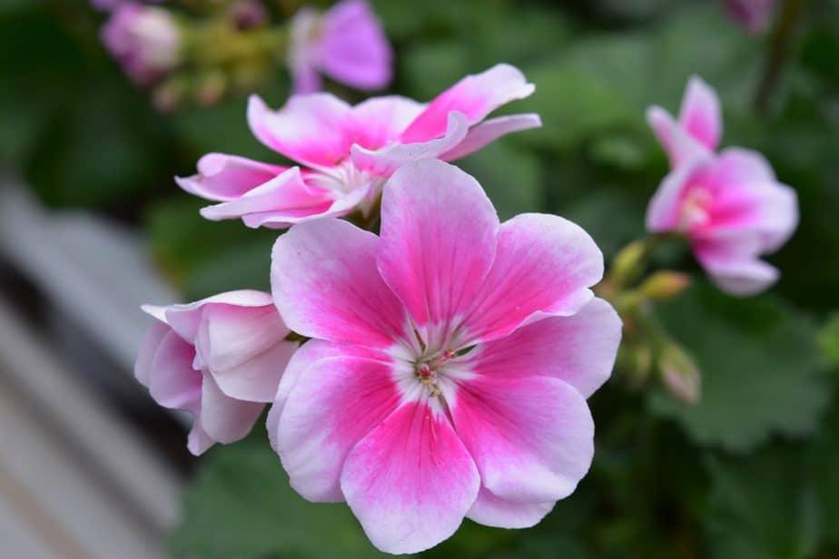 Repel Ticks 7 Rose Geranium