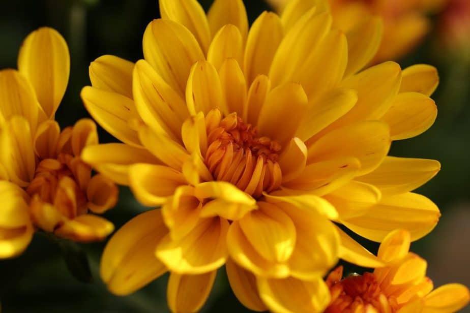Repel Ticks 8 Chrysanthemum