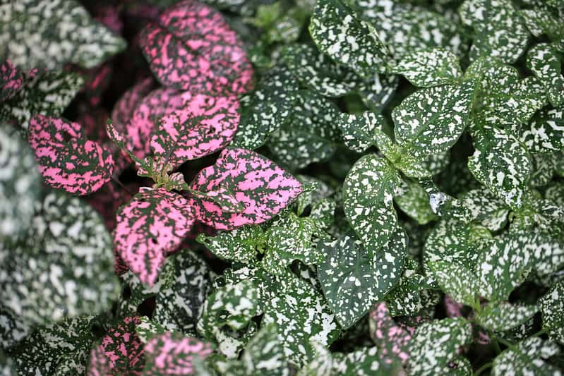 1 Polka Dot Plant FAQ