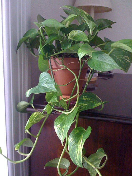 10. How to Grow and Care for Pothos