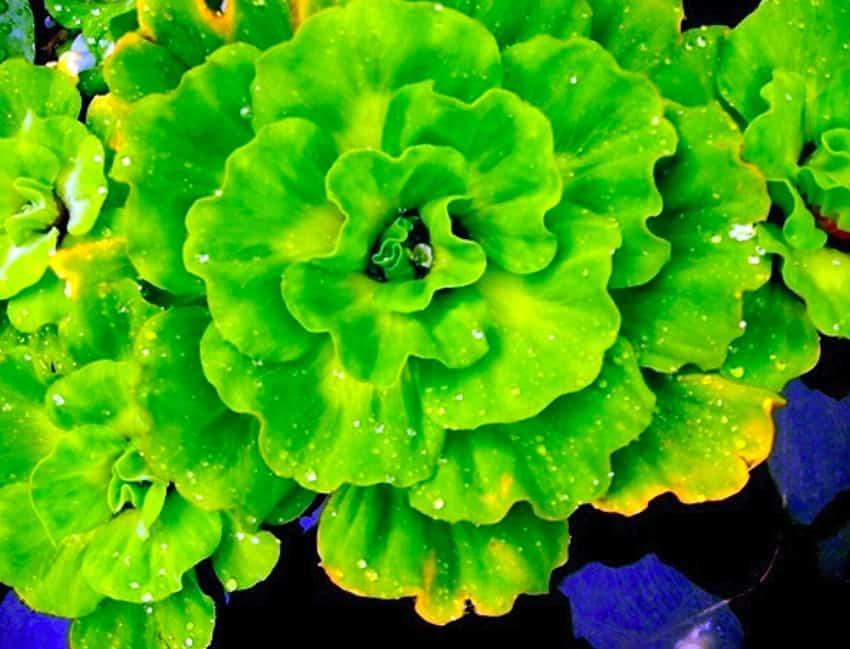11. Ruffled Water Lettuce
