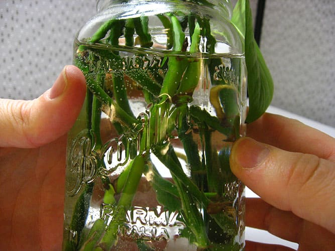 12. How to Grow and Care for Pothos