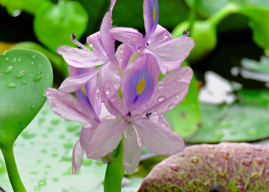 13. Water Hyacinth