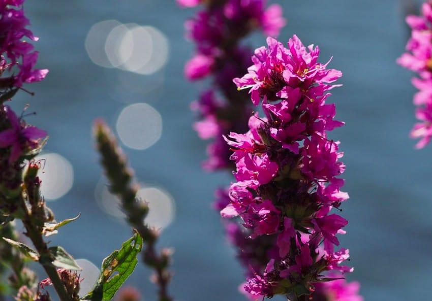 15. Purple Loosestrife