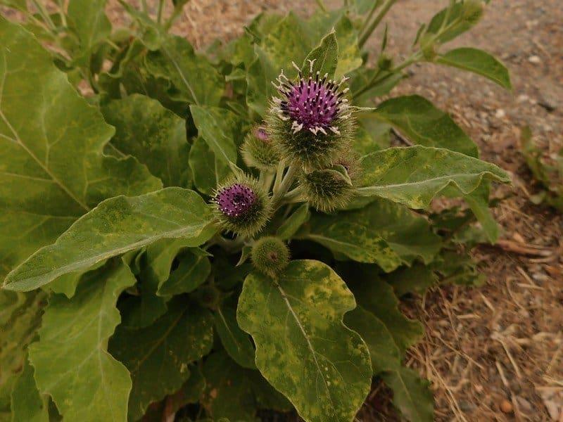 2 Burdock Flowers