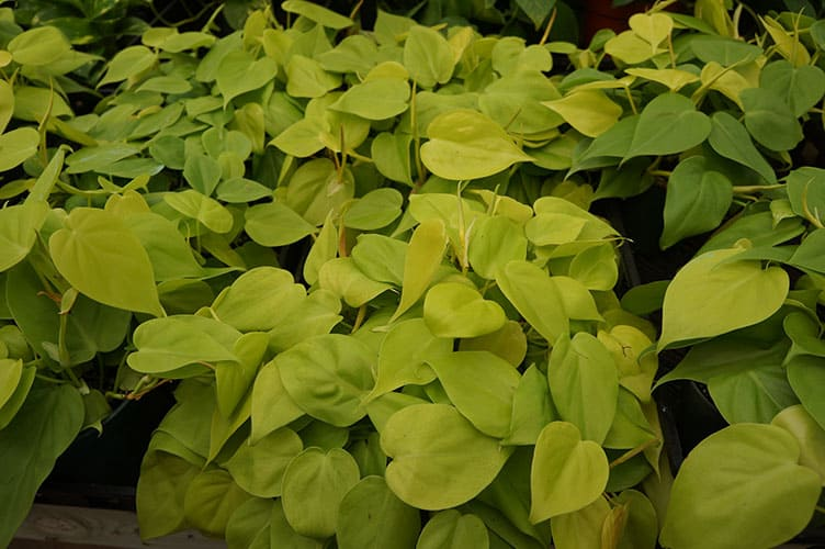2. How to Grow and Care for Pothos