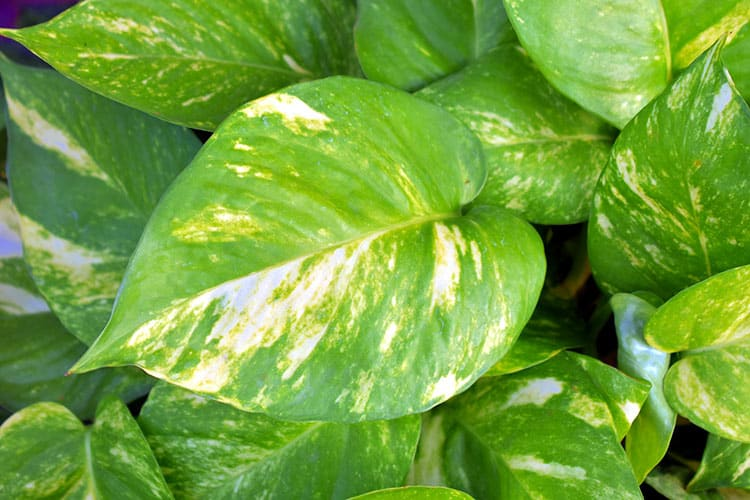3. How to Grow and Care for Pothos