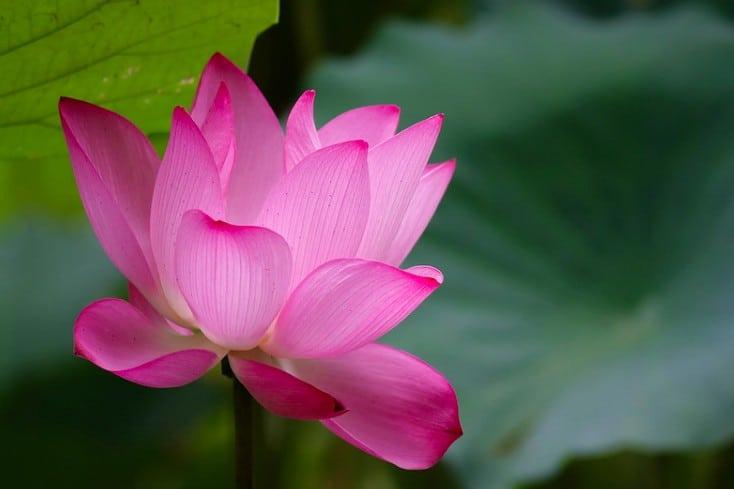 3. Lotus