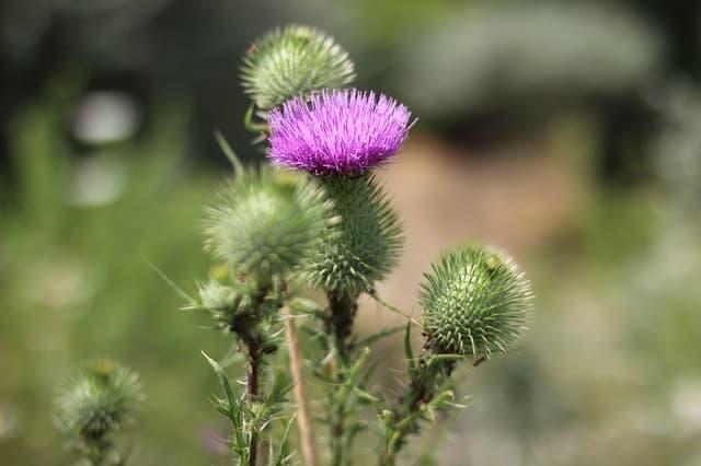 4 Burdock's thistle like flowers seem attractive