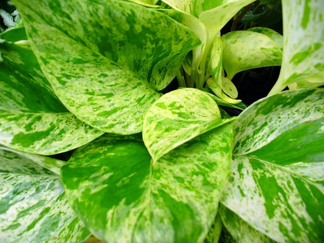 4. How to Grow and Care for Pothos