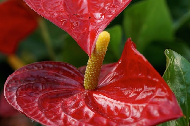 5 Easy to care for the long lasting colorful foliage of the anthurium is an attractive addition to any home or houseplant collection