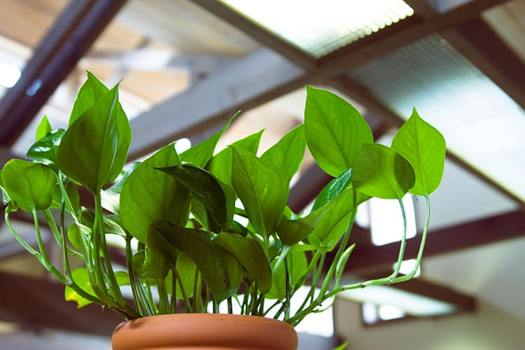 5. How to Grow and Care for Pothos
