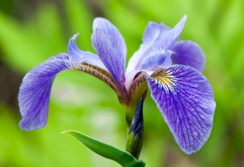 6. Blue Flag Iris