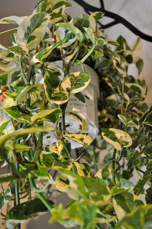 6. How to Grow and Care for Pothos
