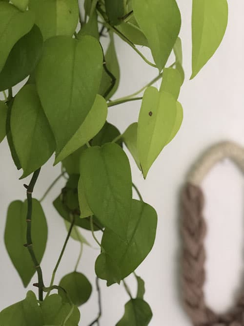 9. How to Grow and Care for Pothos