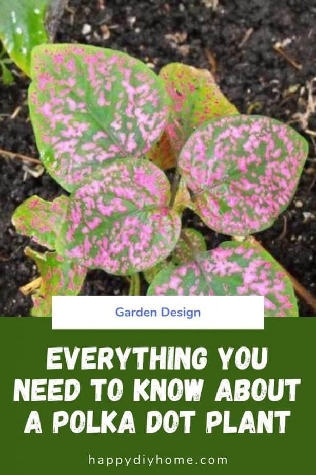 Polka Dot Plant Cover Image