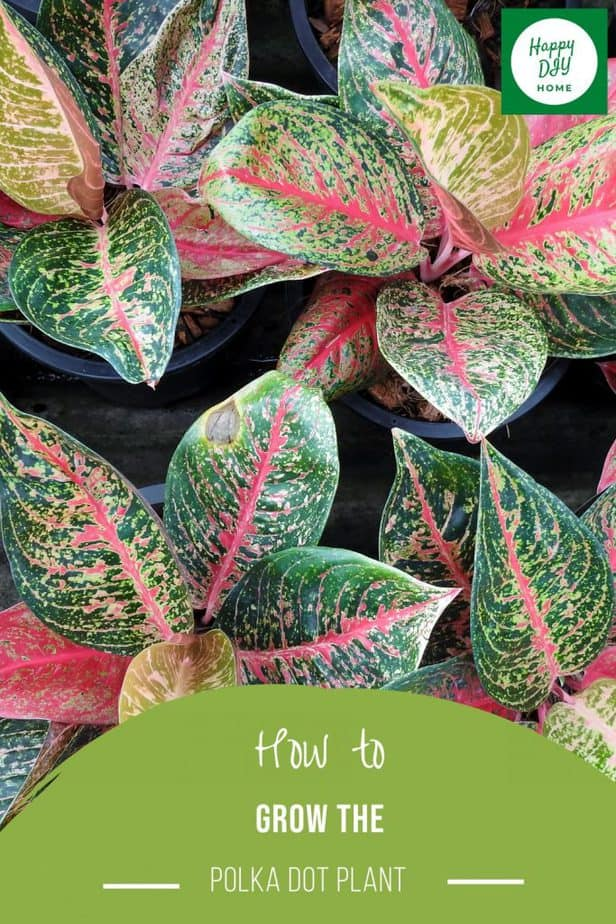 polka dot plant 2
