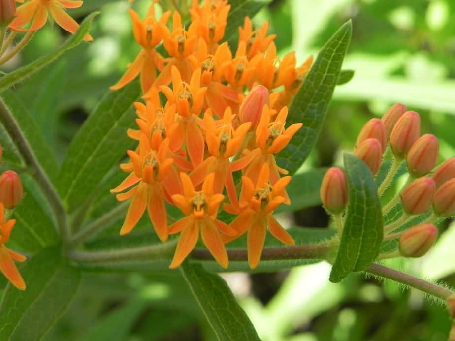 1 Butterfly Weed