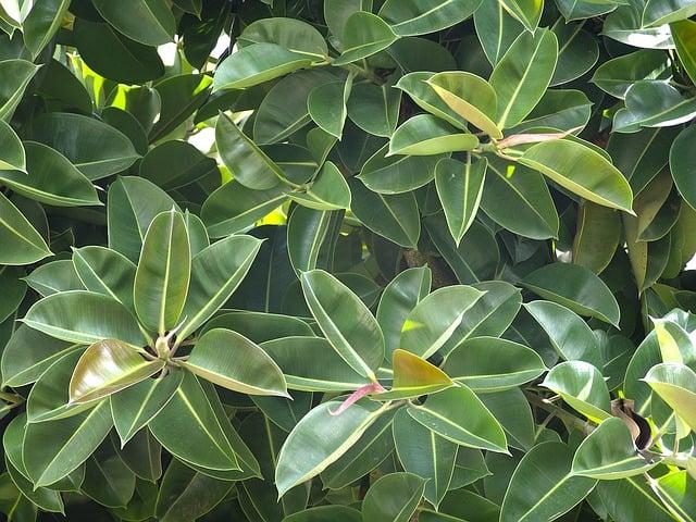 1 Ficus elastica is one of the most attractive indoor plants