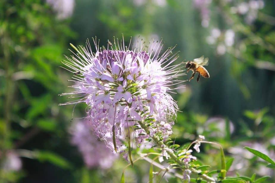 1 Monarda with Bee