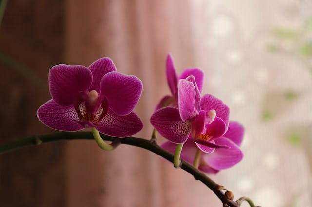 12 phalaenopsis