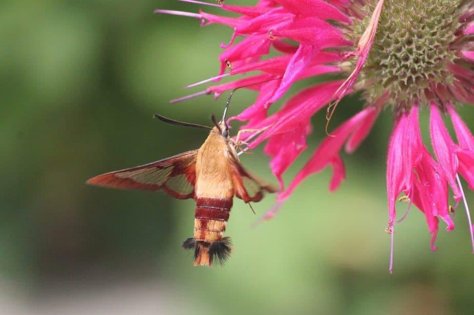 2 Bee Balm Hummingbird