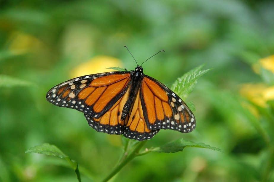 2 Monach Butterfly