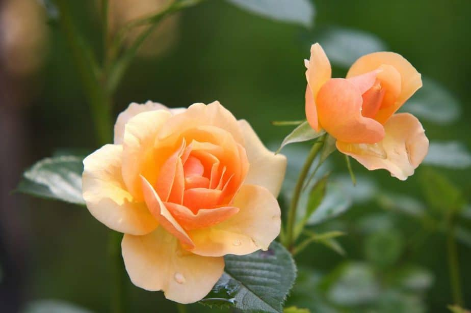 2 Rose Blooms