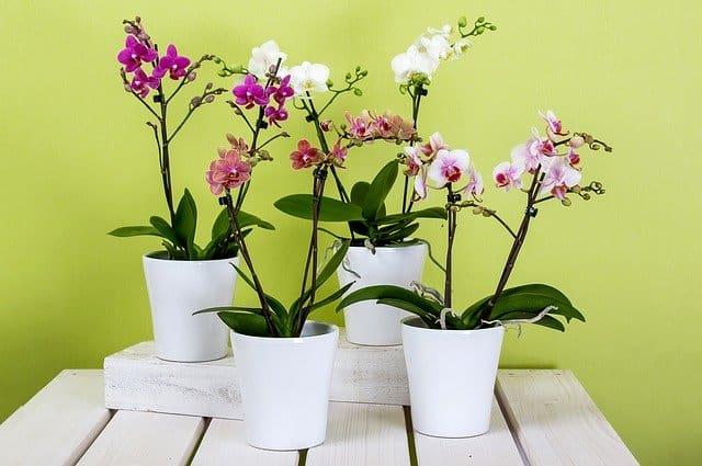 2 phalaenopsis