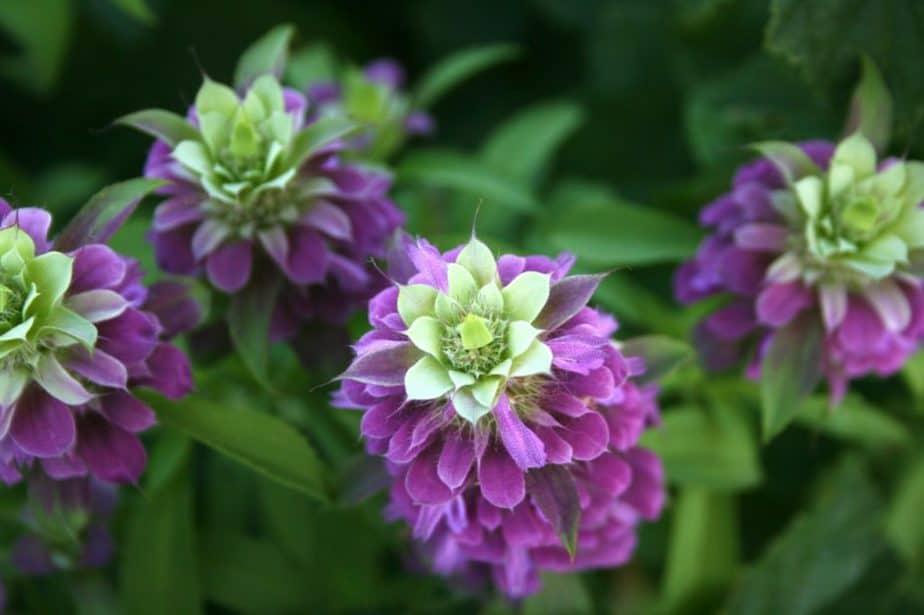 3 Pink Purple Bee Balm