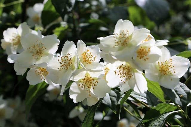 4 Jasmines do best in well draining soil