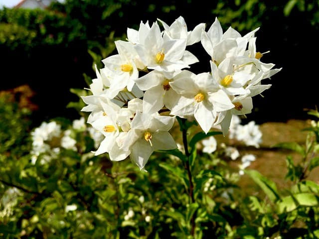 5 Jasmines like lots of indirect light