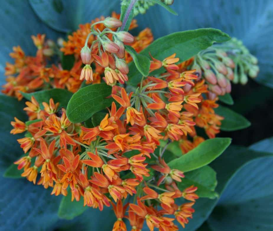 5 Orange Butterfly Weed