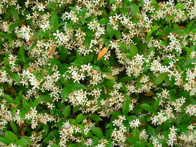 8 Growing jasmine indoors is a pleasingly easy process