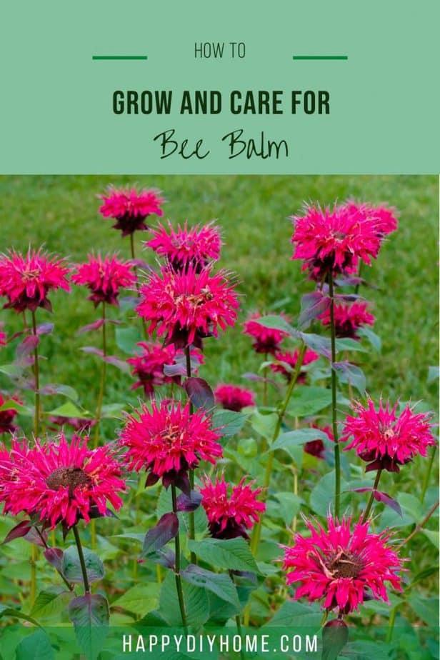 Bee Balm 1
