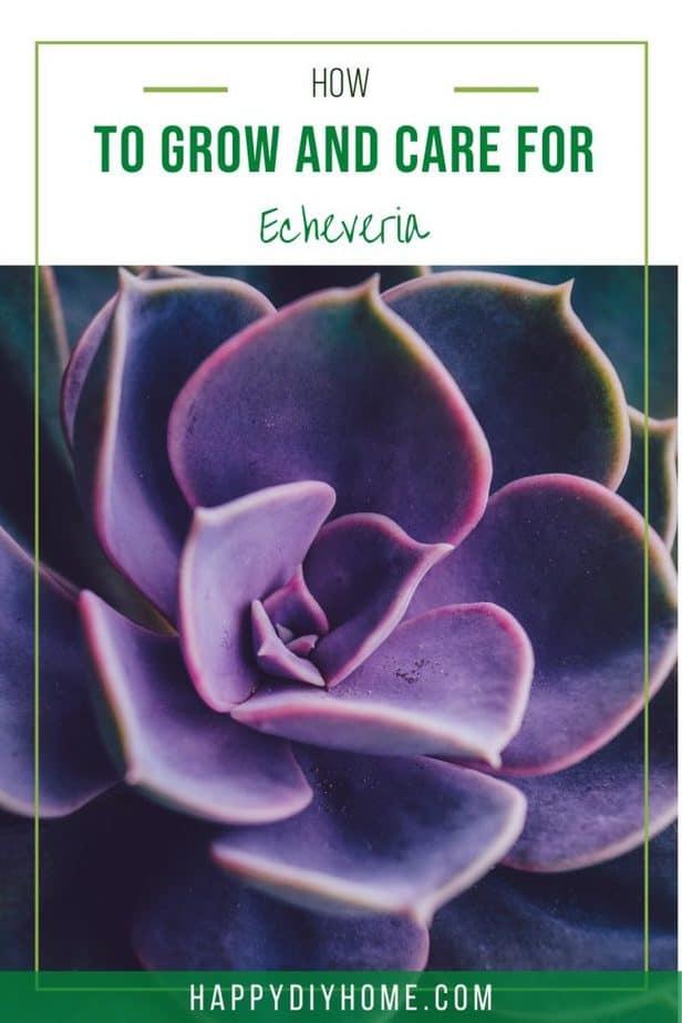Echeveria 1
