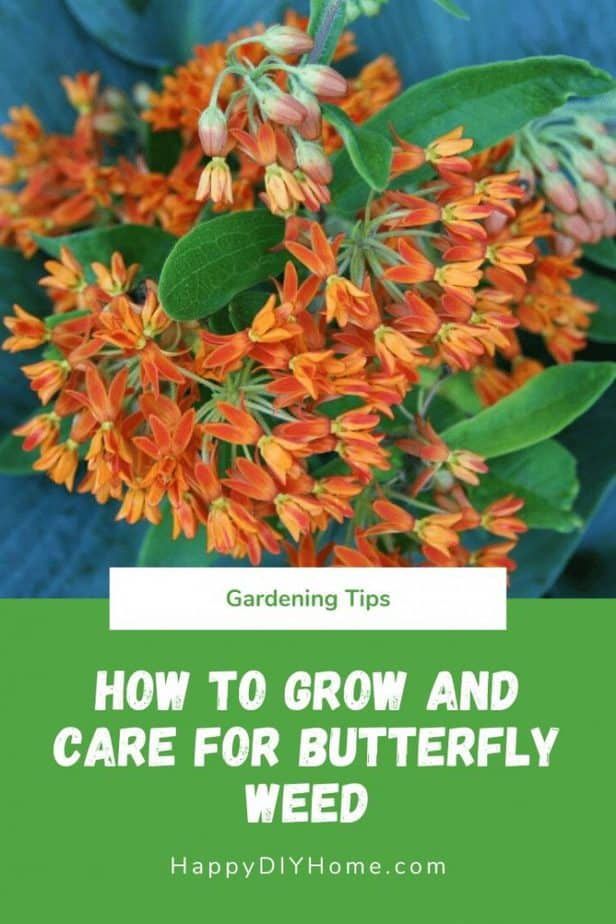 How to Grow and Care for Butterfly Weed
