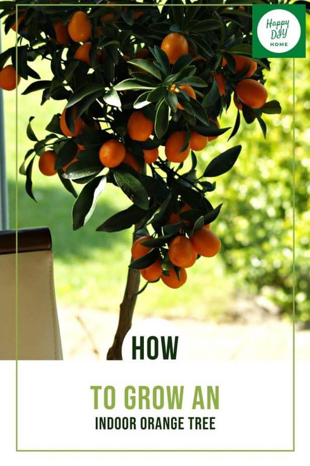 Indoor Orange Tree 1