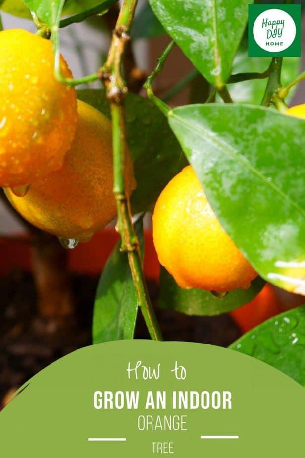 Indoor Orange Tree 2