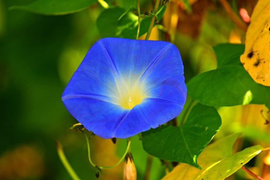1 Blue Morning Glory