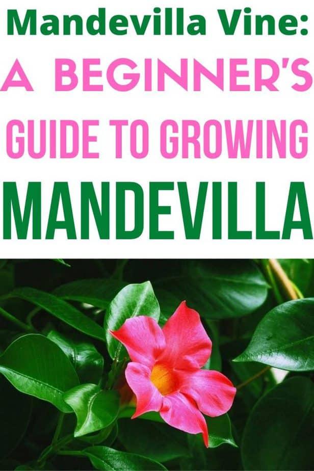 1 Growing Mandevilla