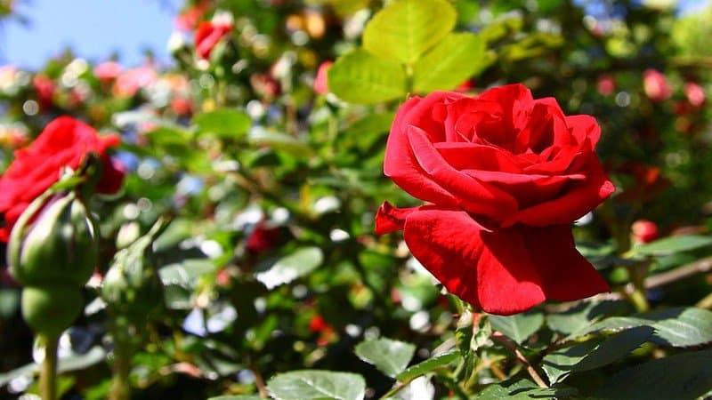 1 Rose Plant