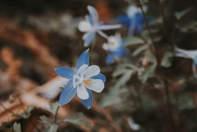 10. Blue Columbine