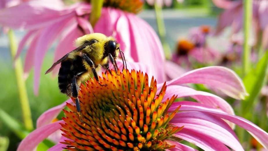 2 Bee on Coneflower