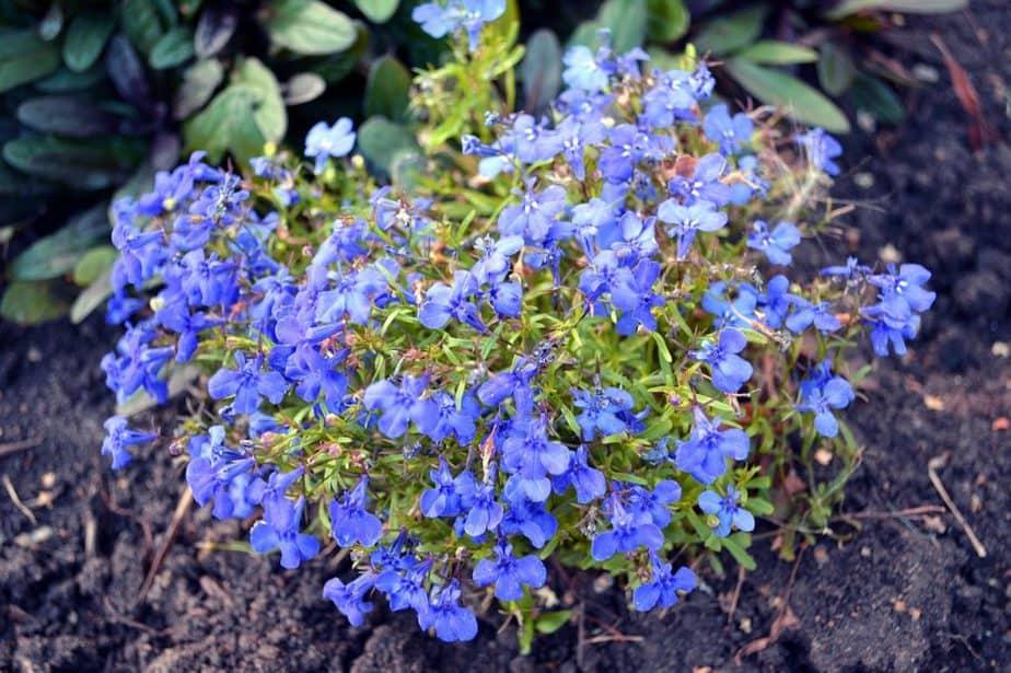 2 Lobelia Plant