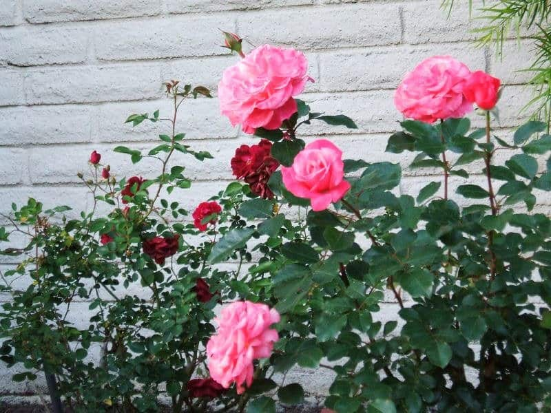 2 New Roses